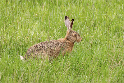European Hare, Hortobagy, Hungary, 27 April 2014