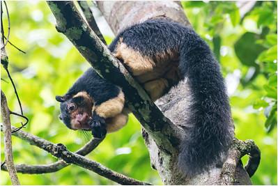 Grizzled Giant Squirrel, Sinharaja, Sri Lanka, 23 August 2019