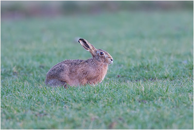 European Hare, Blickling, Norfolk, United Kingdom, 19 March 2008