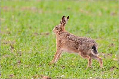 European Hare, Titchwell, Norfolk, United Kingdom, 19 April 2006