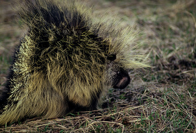 Porcupine-101