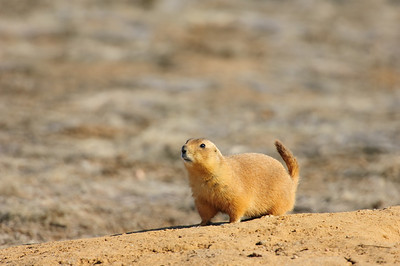 White-tailed Prairie Dog-111