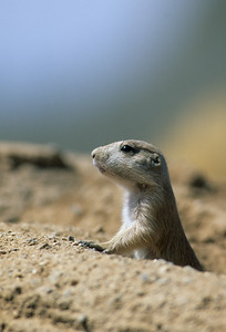 Black-tailed Prairie Dog-106