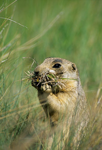 White-tailed Prairie Dog-105