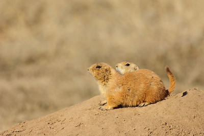 White-tailed Prairie Dog-114