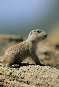Black-tailed Prairie Dog-105