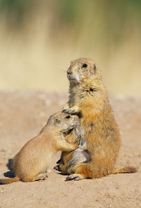 Black-tailed Prairie Dog-101