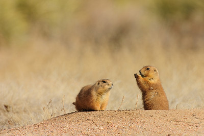 White-tailed Prairie Dog-151