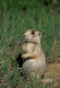 White-tailed Prairie Dog-102