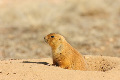 White-tailed Prairie Dog-137