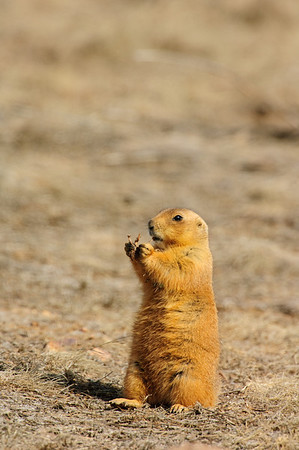 White-tailed Prairie Dog-145
