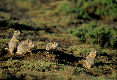 White-tailed Prairie Dog-101