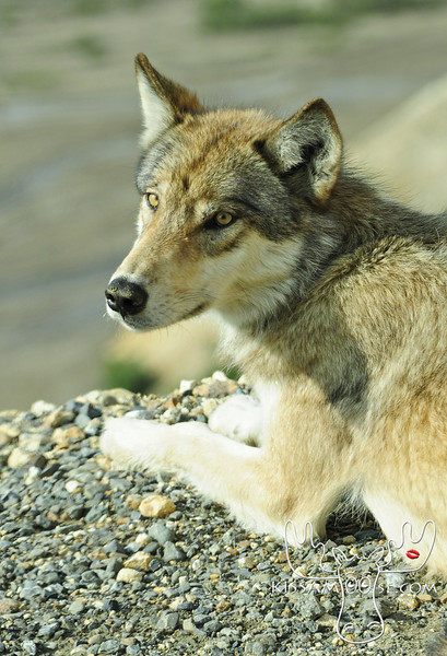 Wolves, Fox and Coyotes