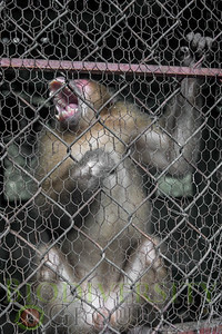 """Caged Macaque in """"Rehabilitation Center"""""""