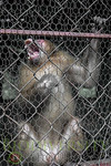 Caged Macaque in
