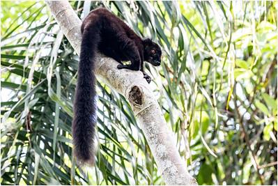Black Lemur, Nosy Be, Madagasacar, 11 November 2018