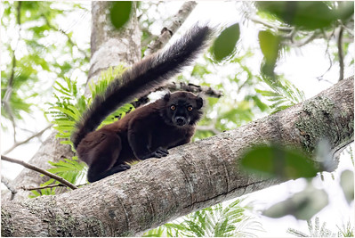 Black Lemur, Nosy Be, Madagasacar, 11 November 2018