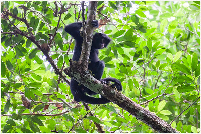 Black-faced Spider Monkey, Tambopata, Peru, 26 October 2008