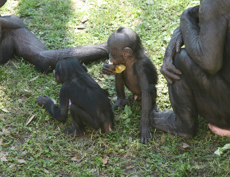 Two young Bonobos (Pan paniscus) with their mothers.  One is eating a piece of fruit at the Jacksonville Zoo and Gardens.