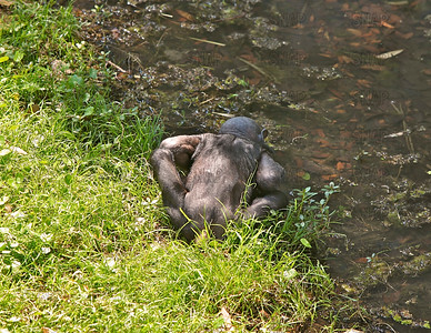 A young Bonobo (Pan paniscus) get a drink from a pool of water at the Jacksonville Zoo and Gardens.