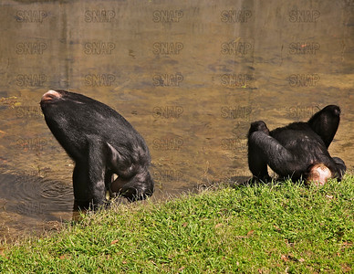Two young Bonobos (Pan paniscus) getting a drink of water at the Jacksonville Zoo and Gardens.