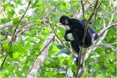 Black-faced Spider Monkey, Tambopata, Peru, 26 October 2008