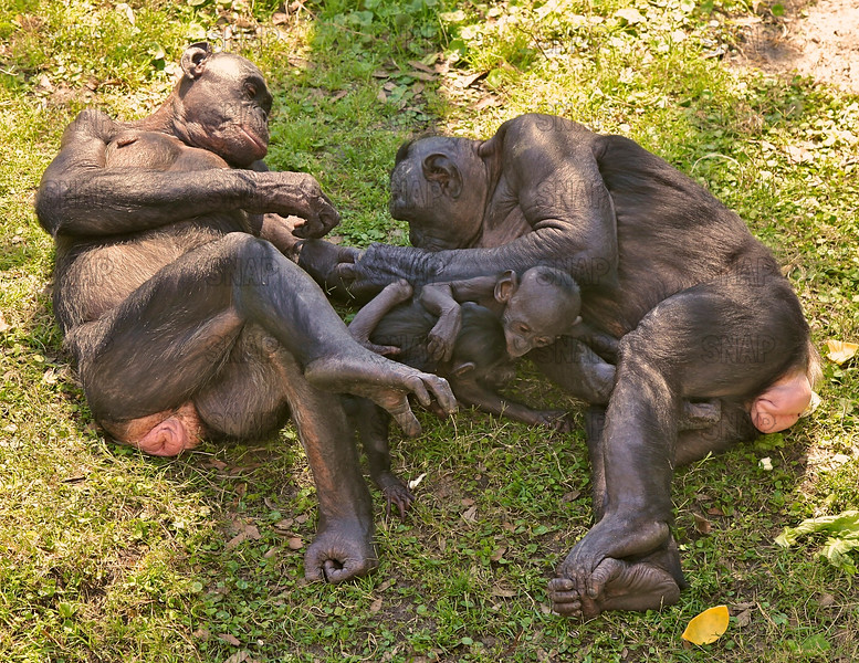 Two adult female Bonobos (Pan paniscus) with their babies at the Jacksonville Zoo and Gardens.