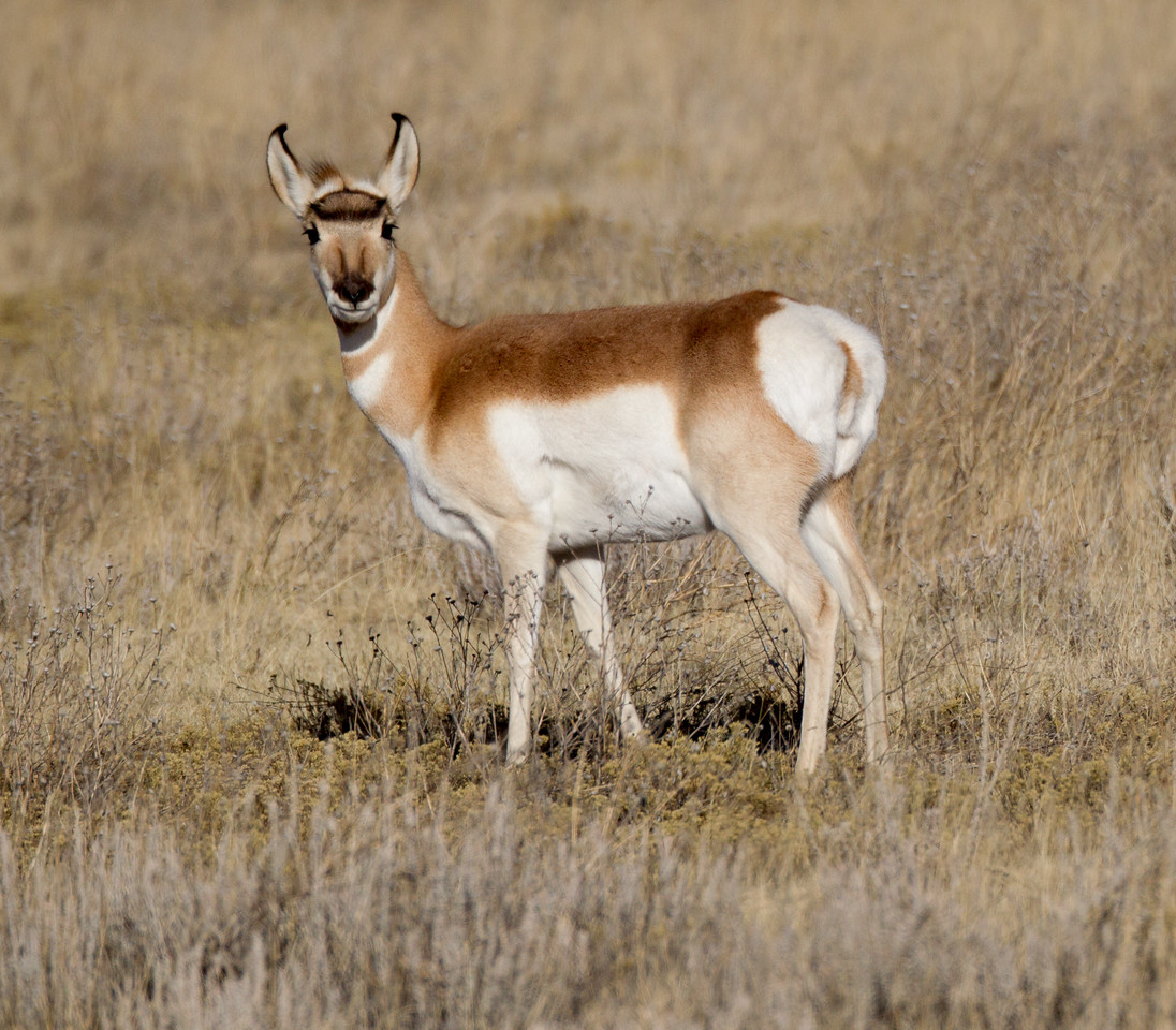 Pronghorn Colorado 2016 2016 11 29-2.CR2