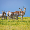 Pronghorn, Grasslands National Park - West Block, Saskatchewan