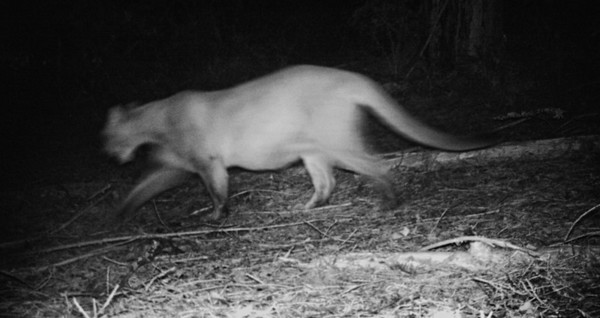 Male mountain lion, Oct. 2013.