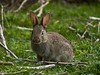 Rabbits. Copyright Peter Drury 2010