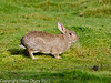 24 February 2011. Rabbit on the marsh. Copyright Peter Drury 2011