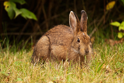 Snowshoe Hare - Lake County, MN-02