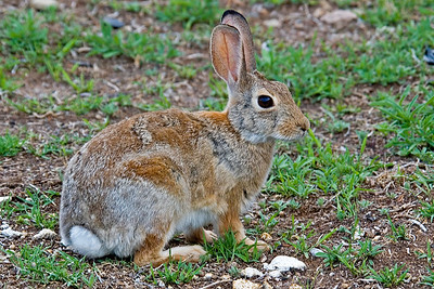 Desert Cottontail - New Mexico