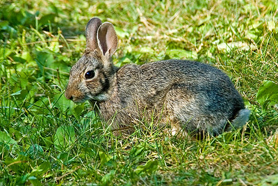 Cottontail Rabbit - Sherburne NWR - MN