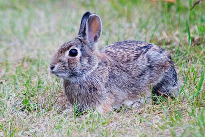 Cottontail Rabbit - Grand Rapids, MN