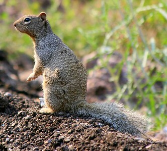 Squirrel in southeast Arizona.