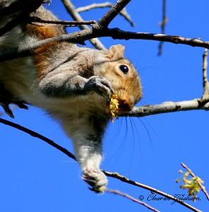 Gray Squirrel in north Alabama.