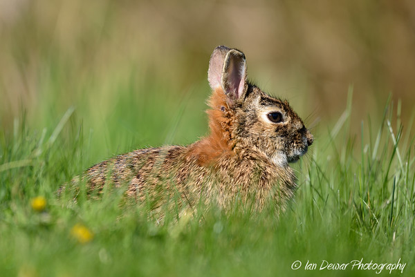 Eastern Cotton tail rabbit in long spring grass and big ears in profile