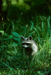 Raccoon-101
