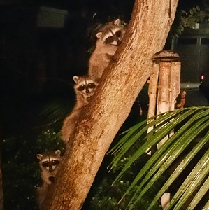 Raccoon Leucadia 2017 10 02-2.jpg