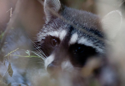 Raccoon  Encinitas  2012 12 10 (1 of 1).CR2
