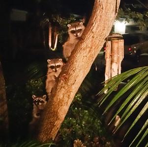Raccoon Leucadia 2017 10 02-1.jpg