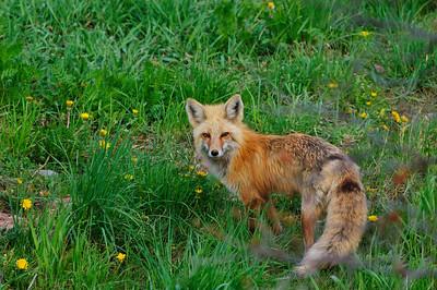 Red Fox-672