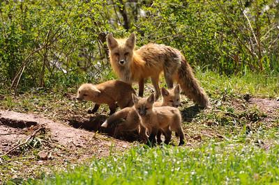 Red Fox-436