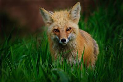 Red Fox-952