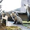 red fox_5327
