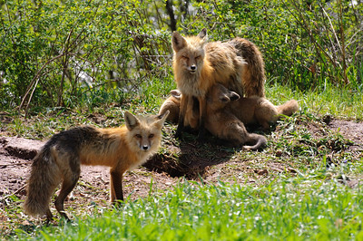 Red Fox-477
