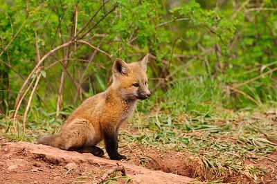 Red Fox-750