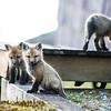 red fox_5328